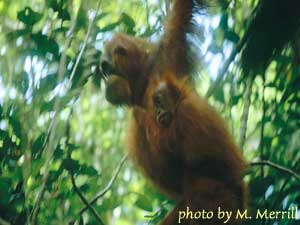 an orangutan mother and infant